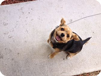 Yorkie, Yorkshire Terrier/Chihuahua Mix Dog for adoption in Fort Myers, Florida - Piper