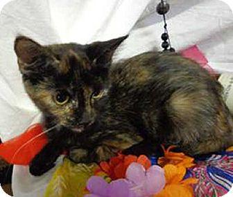 Domestic Shorthair Kitten for adoption in Trevose, Pennsylvania - Mollie