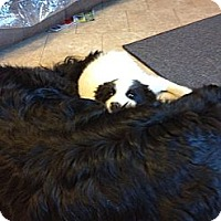 Adopt A Pet :: Shyloh - Milford, CT