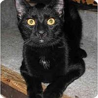 Adopt A Pet :: Coco kitten -LUVbug - Cincinnati, OH