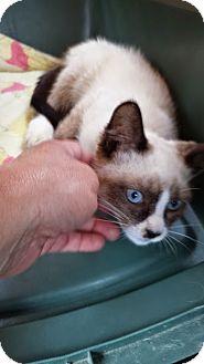 Snowshoe Kitten for adoption in Baudette, Minnesota - Cliffy