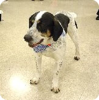 Hound (Unknown Type) Mix Dog for adoption in Las Vegas, Nevada - Sinclair