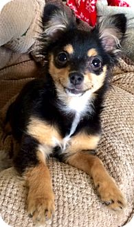 Chihuahua/Terrier (Unknown Type, Small) Mix Puppy for adoption in San Pedro, California - Beyonce