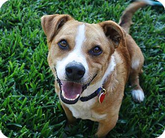 Corgi/Beagle Mix Dog for adoption in Bellflower, California - Simon