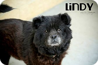 Chow Chow Dog for adoption in Tillsonburg, Ontario - Lindy