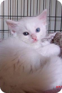 Domestic Longhair Kitten for adoption in Acme, Pennsylvania - BRODEN