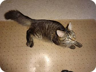 Domestic Mediumhair Kitten for adoption in Colmar, Pennsylvania - Handsome