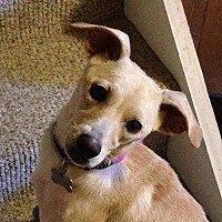 Terrier (Unknown Type, Medium)/Chihuahua Mix Dog for adoption in Gilbertsville, Pennsylvania - Henna - Special Needs