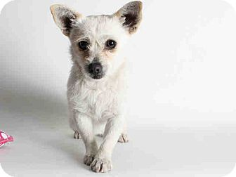 Terrier (Unknown Type, Small) Mix Dog for adoption in Encino, California - Becca