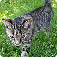 Domestic Shorthair Cat for adoption in Harrisonburg, Virginia - Isis