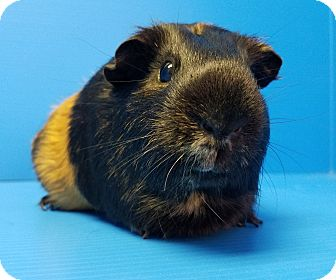 Guinea Pig for adoption in Lewisville, Texas - Dory