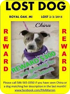 American Staffordshire Terrier/American Pit Bull Terrier Mix Dog for adoption in Warren, Michigan - **STILL LOST!** PLEASE SHARE M