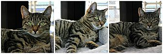 Domestic Shorthair Cat for adoption in Forked River, New Jersey - Grasshopper