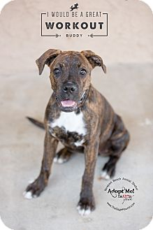 Boxer Mix Dog for adoption in Newport Beach, California - Waffle