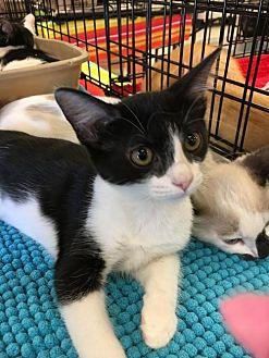 Domestic Mediumhair Cat for adoption in Lakewood, California - MOCHI