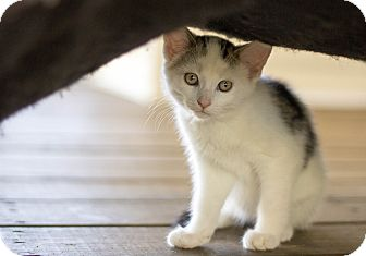 Domestic Shorthair Kitten for adoption in Huntington, West Virginia - Nod