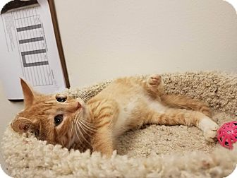 Domestic Shorthair Kitten for adoption in Colonial Heights, Virginia - Mufasa