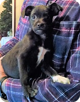 Chihuahua/Boston Terrier Mix Puppy for adoption in Gallatin, Tennessee - Ellen