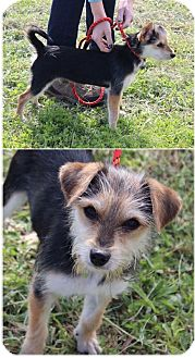 Yorkie, Yorkshire Terrier/Jack Russell Terrier Mix Puppy for adoption in Hermitage, Tennessee - Tala