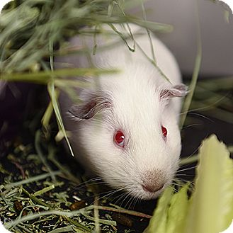 Guinea Pig for adoption in Kanab, Utah - Apple