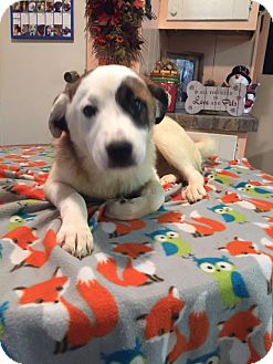 Australian Cattle Dog/Australian Cattle Dog Mix Puppy for adoption in Kittery, Maine - Walker