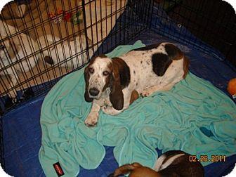 Basset Hound Dog for adoption in Pipe Creed, Texas - Winnie