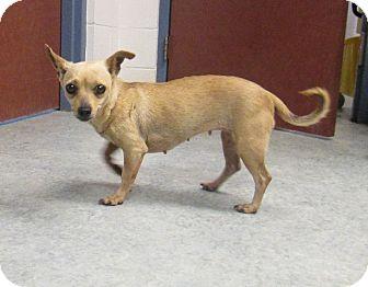 Chihuahua Mix Dog for adoption in Warrenton, North Carolina - Sarah