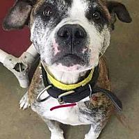 Adopt A Pet :: Georgia - Billings, MT