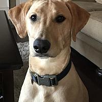 Labrador Retriever/Catahoula Leopard Dog Mix Dog for adoption in Slidell, Louisiana - Rocket