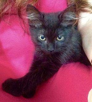 Domestic Shorthair Kitten for adoption in Huntsville, Alabama - Mickey Mantle