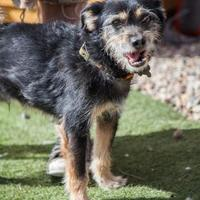 Brussels Griffon Mix Dog for adoption in Rio Rancho, New Mexico - Max