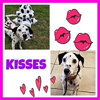 Dalmatian Dog for adoption in Fort Collins, Colorado - Kisses
