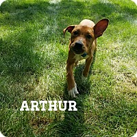 Adopt A Pet :: Arthur - Southington, CT