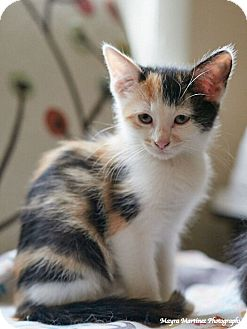 Domestic Shorthair Kitten for adoption in Chattanooga, Tennessee - Lovey