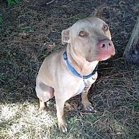 Adopt A Pet :: Chocolate - McKenna, WA