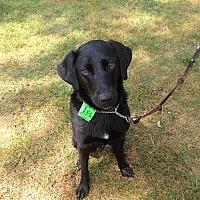 Adopt A Pet :: Precious - Schaumburg, IL