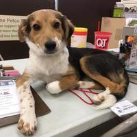 Adopt A Pet :: Dexter - Tucson, AZ