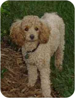 Miniature Poodle Mix Dog for adoption in Melbourne, Florida - CHEWIE