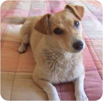 Jack Russell Terrier Mix Dog for adoption in Poway, California - Daisy