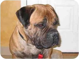 Bullmastiff Dog for adoption in Northville, Michigan - Dozer