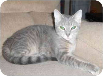 Domestic Shorthair Cat for adoption in Richmond, Virginia - Lulu