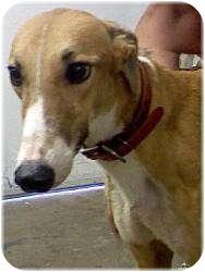 Greyhound Dog for adoption in Harrisburg, Pennsylvania - Sandy