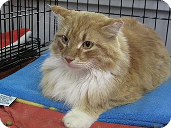 Maine Coon Cat for adoption in Port Republic, Maryland - Leo