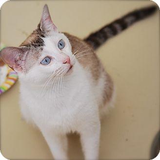 Siamese Cat for adoption in Trevose, Pennsylvania - China