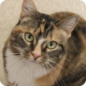 Domestic Shorthair Cat for adoption in Naperville, Illinois - Bogen
