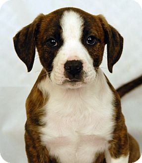 Boxer Mix Puppy for adoption in Newland, North Carolina - Barkley