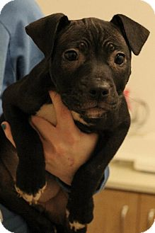 Dogo Argentino/Terrier (Unknown Type, Medium) Mix Puppy for adoption in Broadway, New Jersey - Lacey