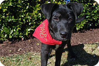 Labrador Retriever Mix Puppy for adoption in Richmond, Virginia - Shadow