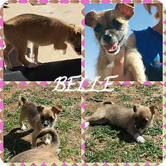 Terrier (Unknown Type, Small)/Chihuahua Mix Puppy for adoption in Snyder, Texas - Belle