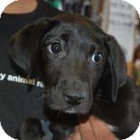 Labrador Retriever Mix Puppy for adoption in Brooklyn, New York - Amber